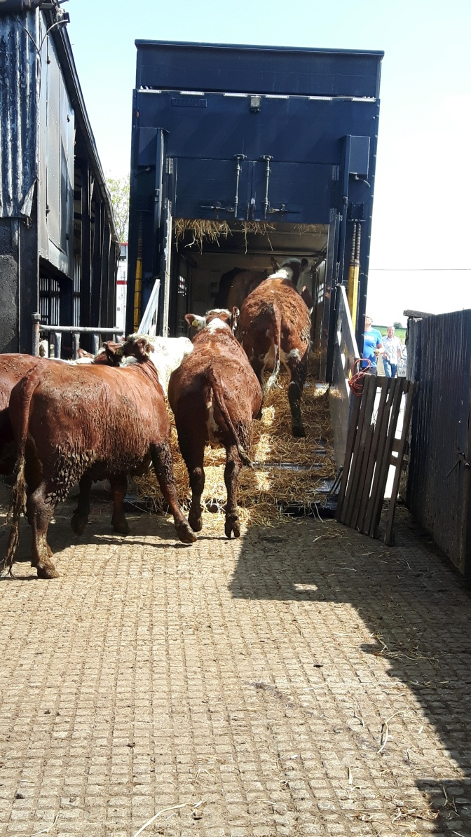Another batch of pedigree in-calf Hereford heifers depart for Russia