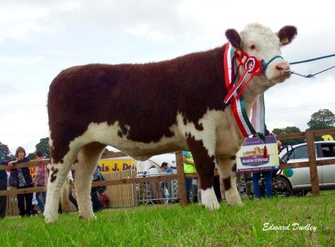 Overall Supreme Hereford Champion, Kilsunny Lass Matilda