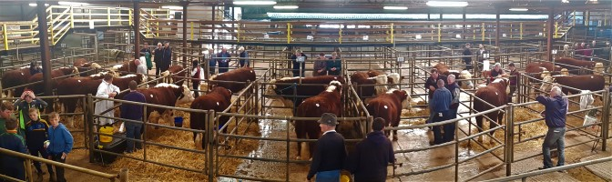 Strong Demand for Hereford Continues in Kilmallock
