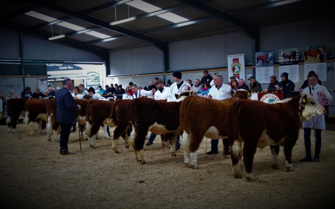 NATIONAL HEREFORD CALF SHOW 2018