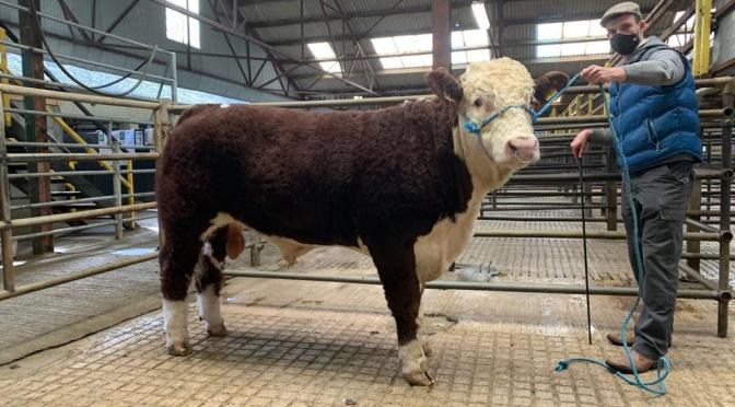 West Cork takes the top of the town at the Autumn Sale in GVM Kilmallock 2020
