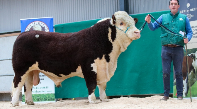 Tullaha Donny at €4,600 tops the Premier Autumn Hereford sale at GVM Tullamore