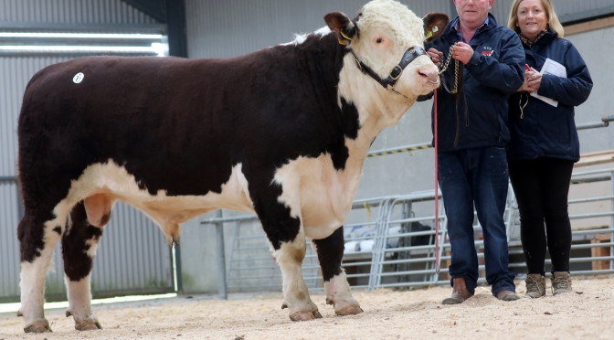 Hereford Bull Sales off to a flying start!
