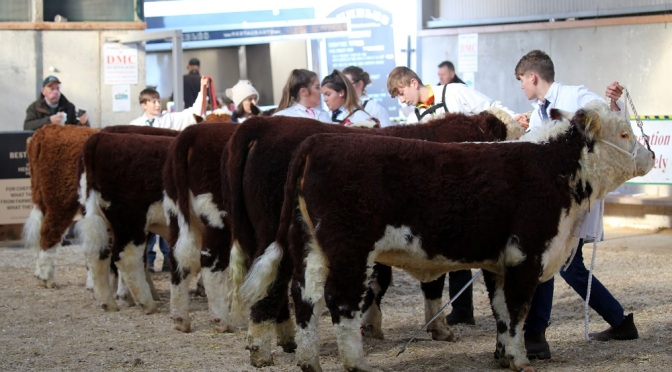 National Hereford Calf Show 2021 back to full swing!