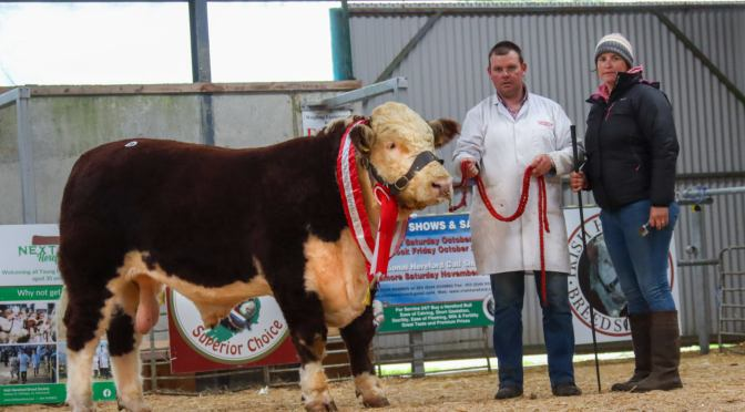 Male Champion tops the Premier Autumn Hereford Sale 2021 at €5300!